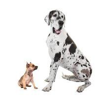 perros great dane y chihuahua foto