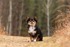 Chihuahua in the rain photo