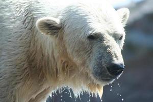 animales árticos foto