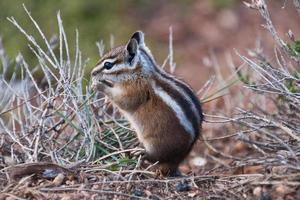 Uinta Chipmunk Eating photo