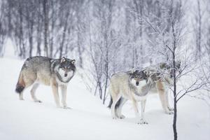 tres lobos en la nieve