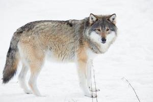 Wolf standing in the snow photo