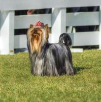 perro yorkshire terrier foto
