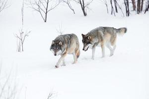 Two wolves walking in the snow photo