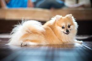 Pomeranian in home