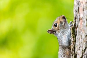 Squirrel climbing tree