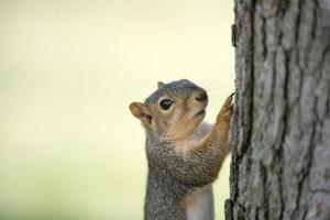 Eastern gray squirrel on tree