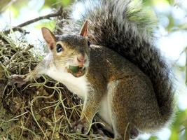 Gray Squirrel (Sciurus carolinensis)