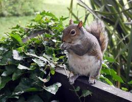 Tame Squirrel eating nuts, Cambridgeshire UK