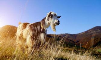 chèvre en montagne