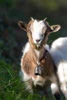 pequeña cabra pastando foto
