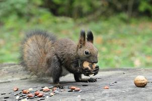 Dark brown squirrel. Squirrel.