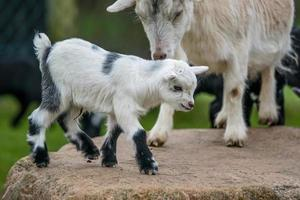 Goat kid with its mother