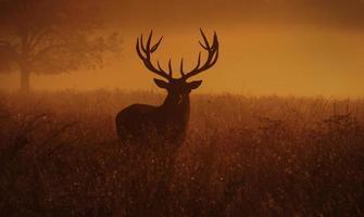 Deer stag photo