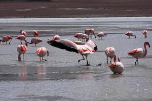flamencos en el lago en la montaña de los andes, bolivia