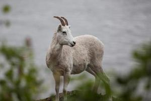 Mountain goat (Oreamnos americanus) along Seward highway,  Alaska