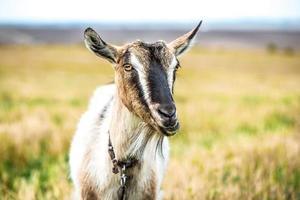 geit op het veld