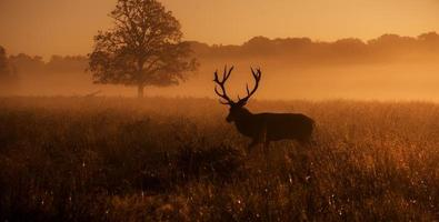Red deer stag! photo