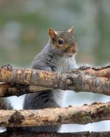 Gray Squirrel Looking Over Branches
