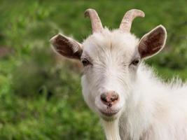 primer plano de cabra blanca