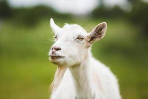 Portrait of goat photo
