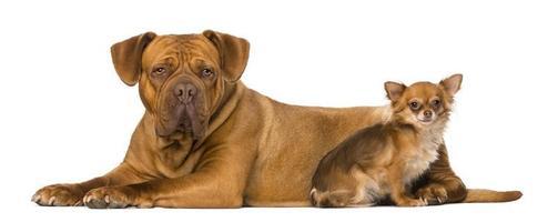 Dogo de Burdeos y un chihuahua