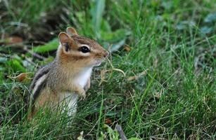 Curious And Alert - Chipmunk In The Grass