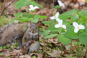 Eastern Grey Squirrel sitting near white Trillium flowers