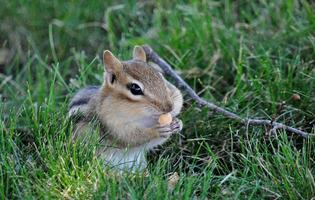 Satisfaction - Chipmunk Feeding