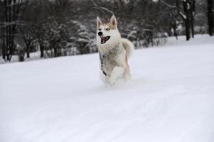 Husky photo