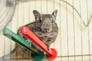 Degu squirrel