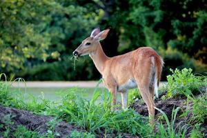 Close Up of White-tailed Doe Munching on Grass