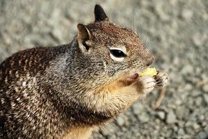 Squirrel eating at Point Piedras Blancas