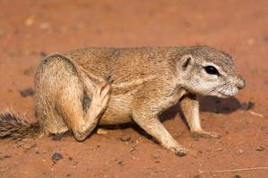 Ground squirrel in red desert