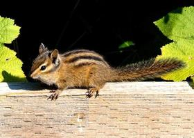 Chippie the chipmunk