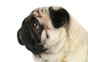 perfil de perro pug
