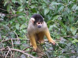 Squirrel Monkey 002