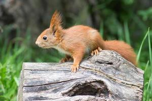 young red squirrel photo