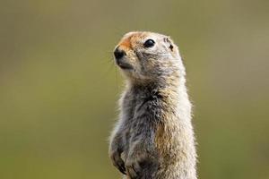 Arctic Ground Squirrel photo