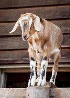 Domestic Farmyard Goat looking Comic Perched on a Fencepost