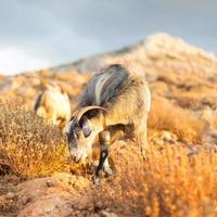 Domestic goat in mountains.