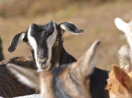 Cute baby goat cub