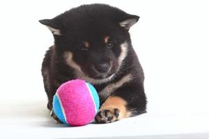 shiba inu puppy white background