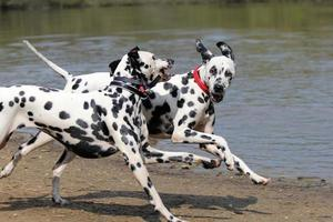 Two Dalmatians running on waters edge