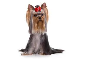 Yorkshire Terrier dog looking at the camera (isolated on white)