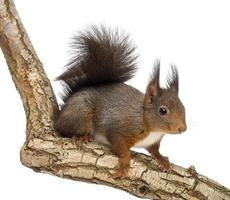 Red squirrel, Sciurus vulgaris, climbin