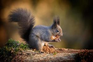 Light colored red squirrel