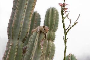 Squirrel on cactus plant
