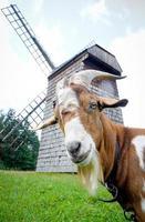 cabra y molino de viento foto