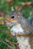 Squirrel close-up, holding paws together, looking attentive
